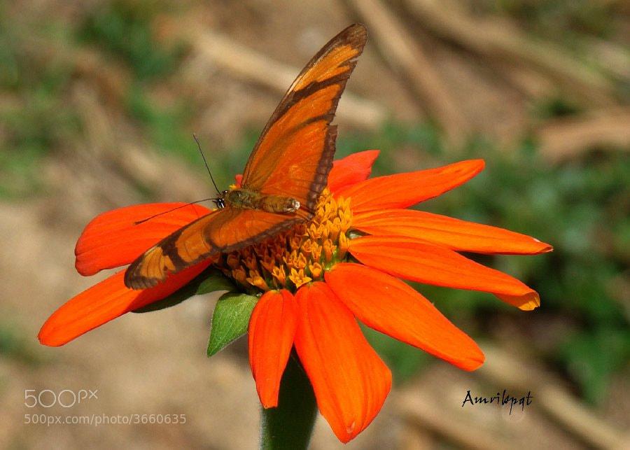 Photograph Orange longwing (Dryas iulia) by Lety Monteiro on 500px