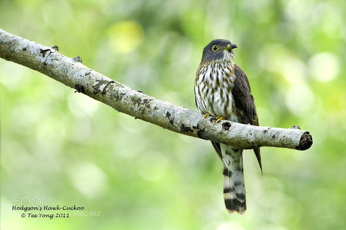 Photograph Hodgson's Hawk-Cuckoo by TeeYong on 500px