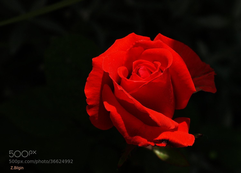 Photograph rose... by Zeki Bilgin on 500px