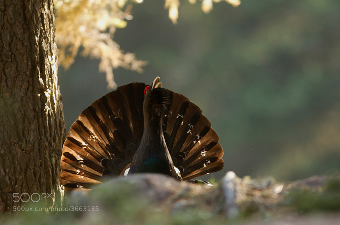 Photograph capercaillie by march graziano on 500px