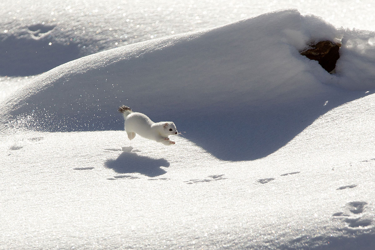 Photograph Ermine in winter by march graziano on 500px