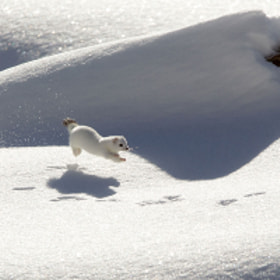 Ermine in winter by march graziano (marchgraziano)) on 500px.com