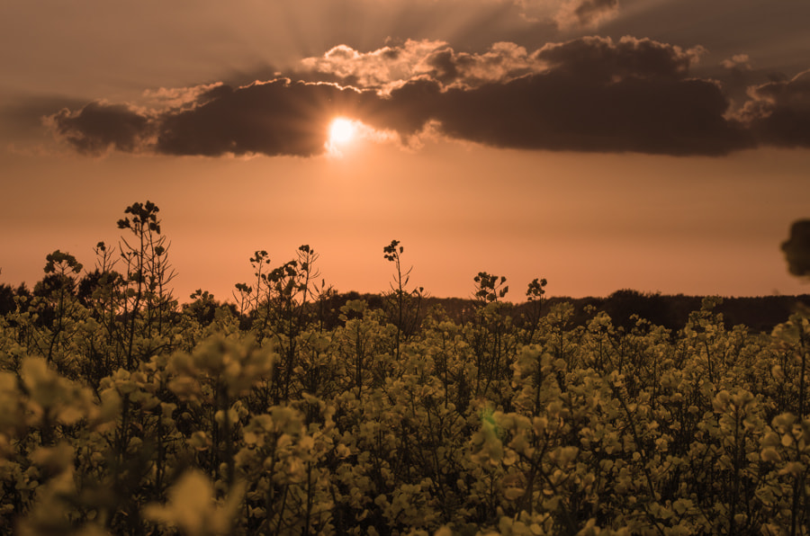 Photograph sunset in rape by Gunter Werner on 500px