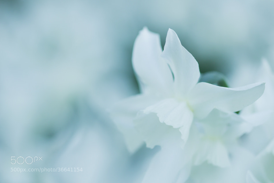 Photograph Great white Daffodil by Jan Teeuwen on 500px