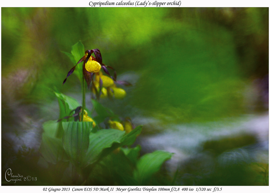 Photograph  Lady's-slipper orchid by Claudio Cugini on 500px