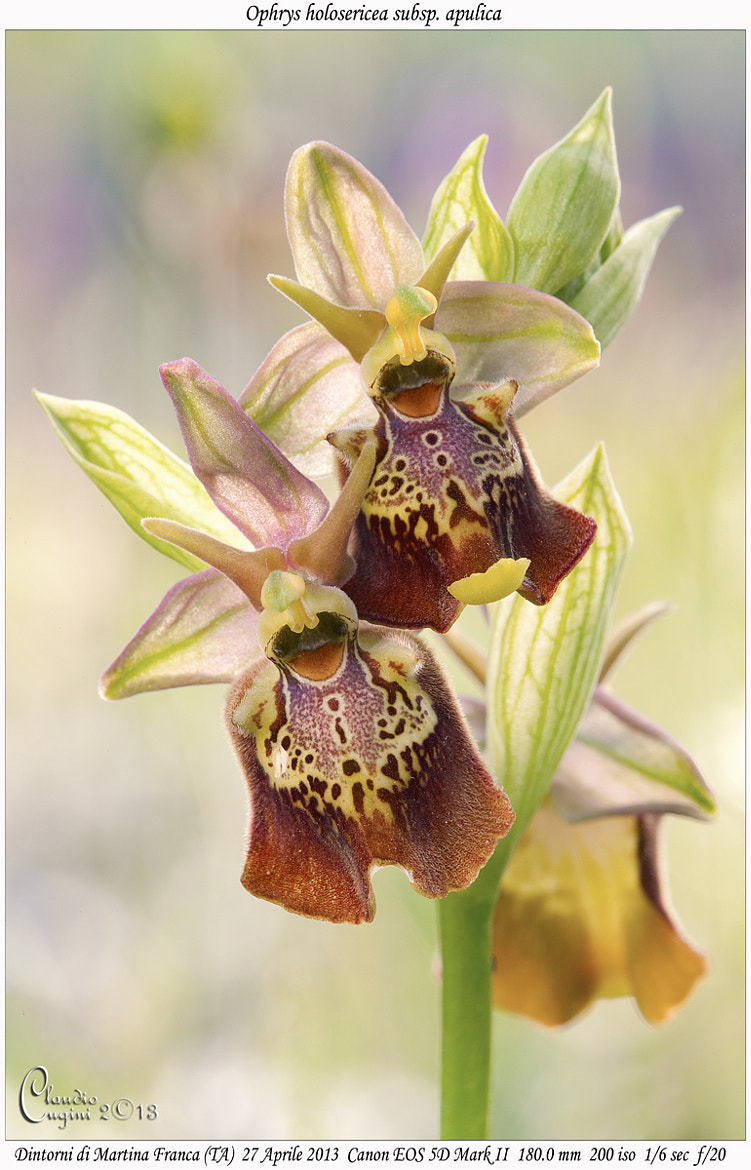 Photograph Ophrys holosericea subsp. apulica by Claudio Cugini on 500px
