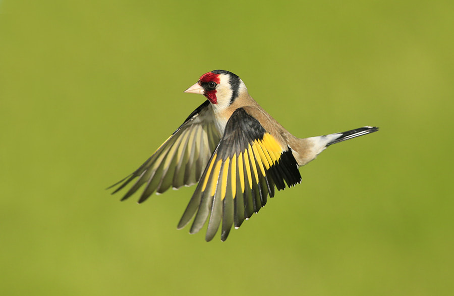 Photograph Goldfinch in flight by Mark Hamblin on 500px