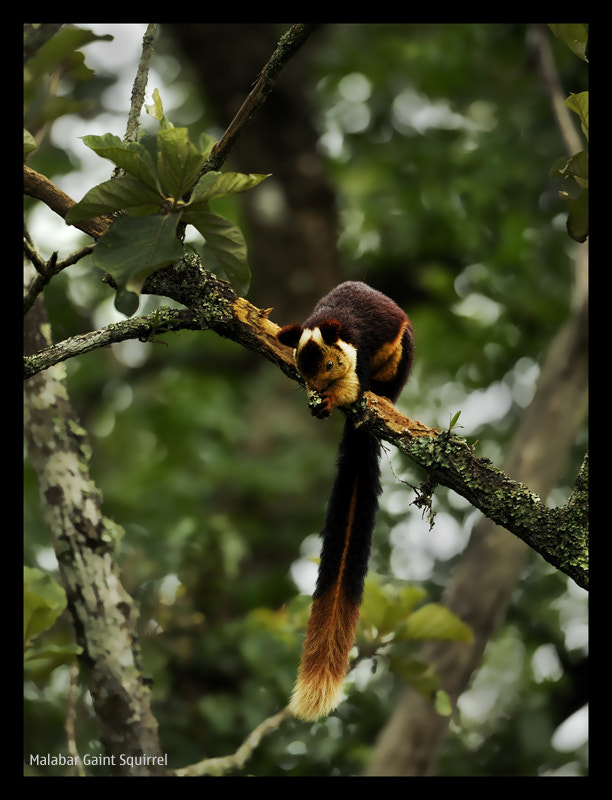 Photograph Malabar Giant Squirrel by nara simhan on 500px