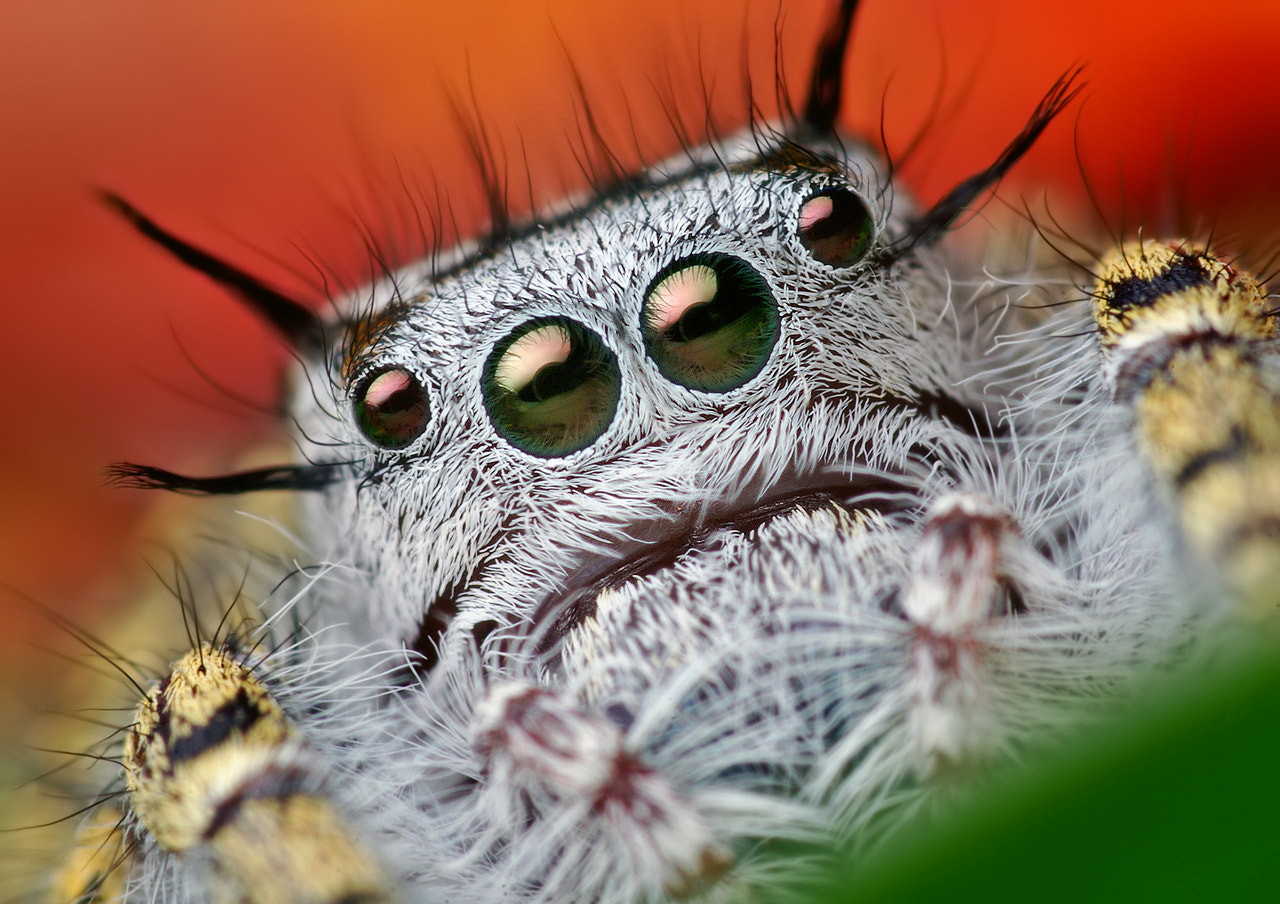 Photograph Adult Female Phidippus mystaceus Jumping Spider by Thomas Shahan on 500px