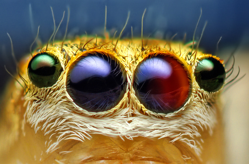 Photograph Anterior Median and Lateral Eyes of a Female Jumping Spider - (Maevia inclemens) by Thomas Shahan on 500px
