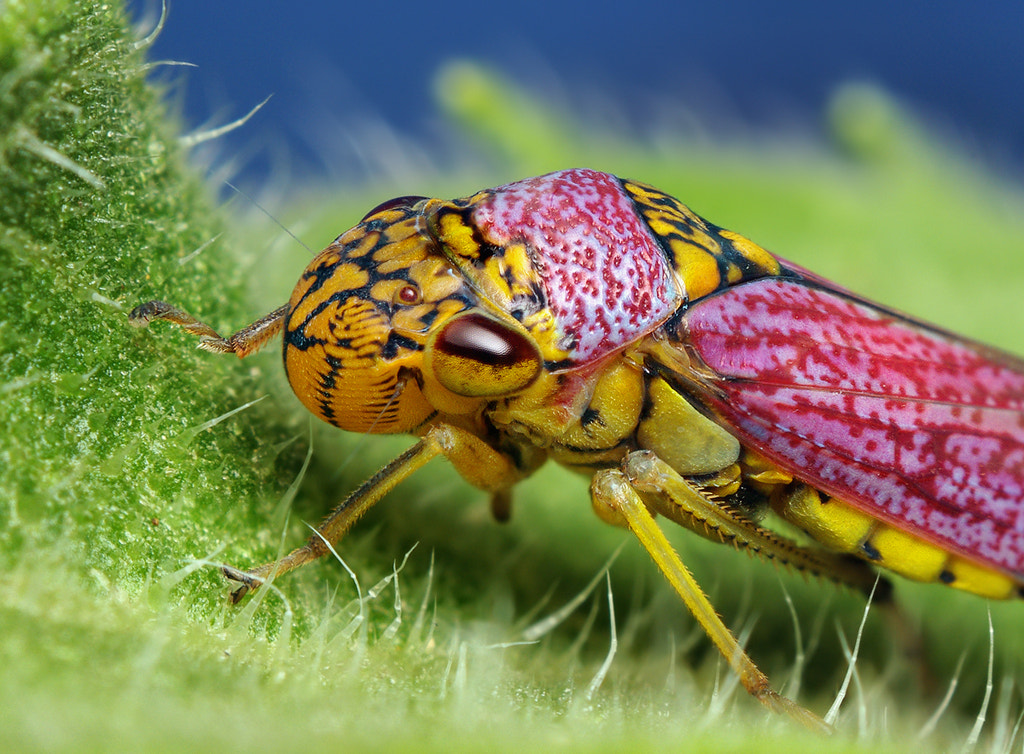 Photograph Colorful Broad-headed Sharpshooter Leafhopper - (Oncometopia orbona?) by Thomas Shahan on 500px