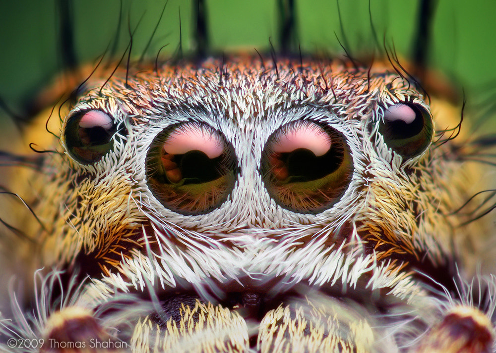 Photograph Eyes of an Adult Female Phidippus putnami Jumping Spider   287102  by Thomas Shahan on 500px