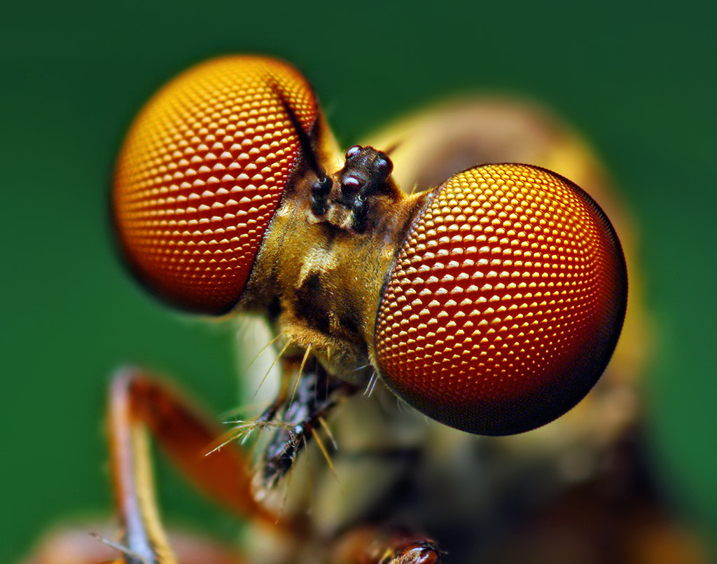 Photograph Eyes of a Holcocephala fusca Robber Fly by Thomas Shahan on 500px