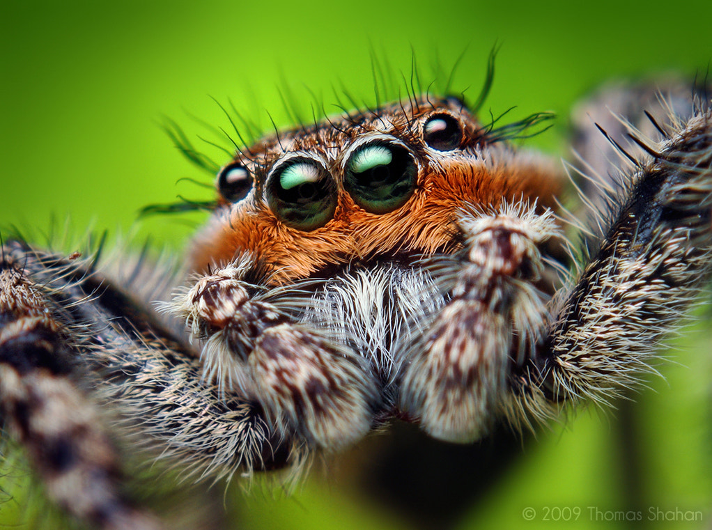 Photograph Adult Male Platycryptus undatus Jumping Spider by Thomas Shahan on 500px