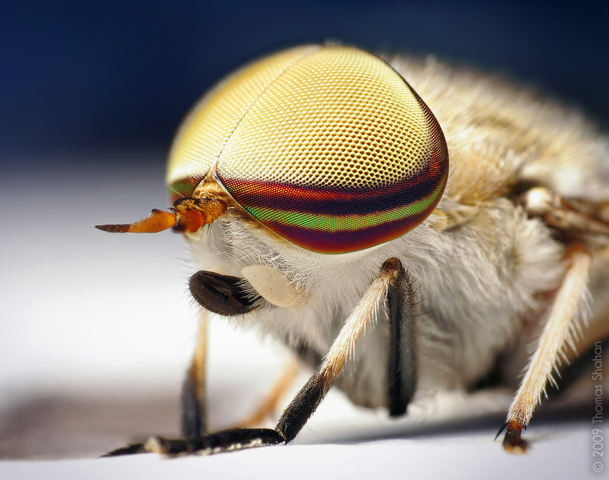 Photograph Male Striped Horse Fly (Tabanus lineola) by Thomas Shahan on 500px