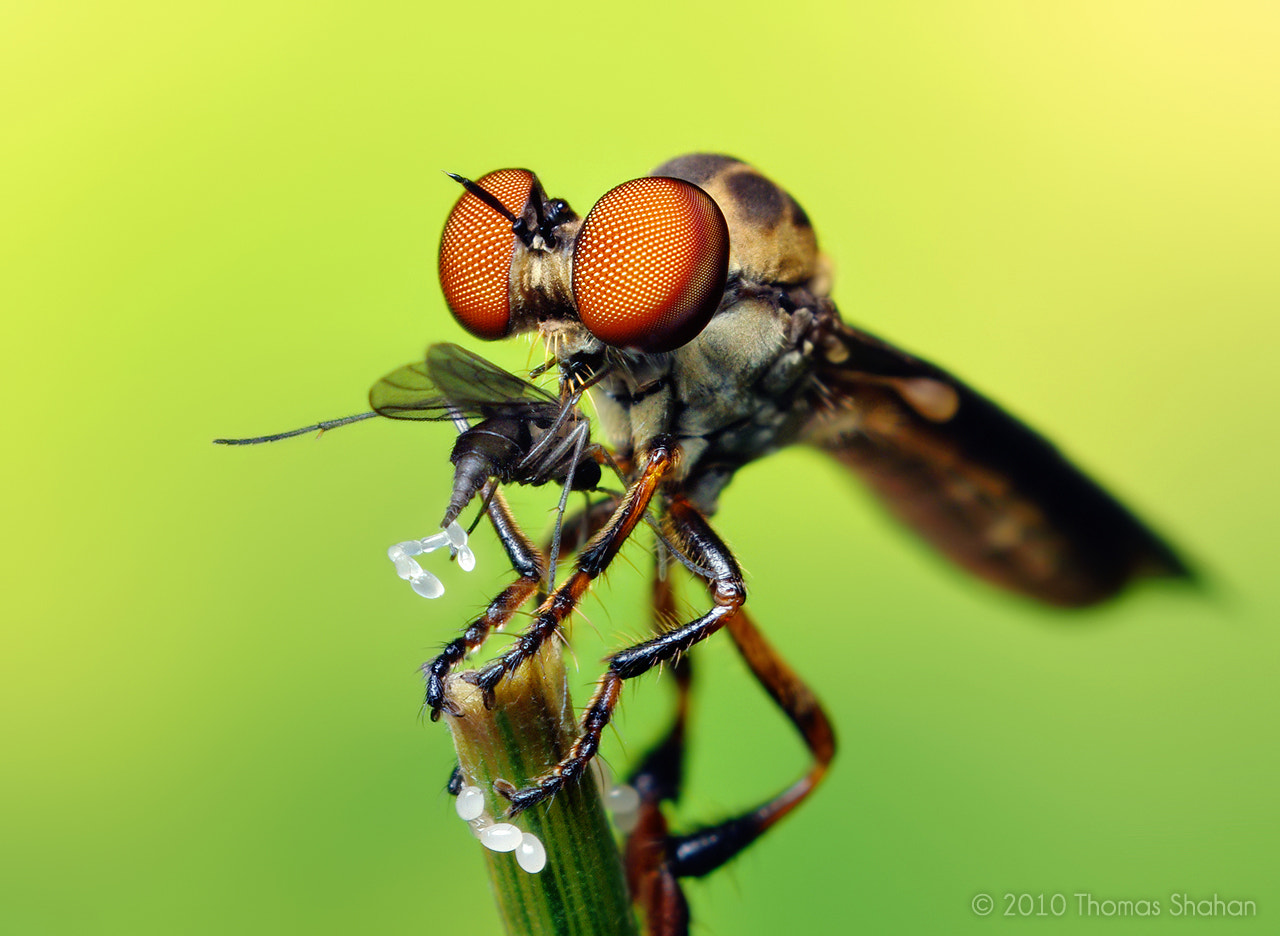 Photograph Robber Fly with Prey (Holcocephala fusca) by Thomas Shahan on 500px