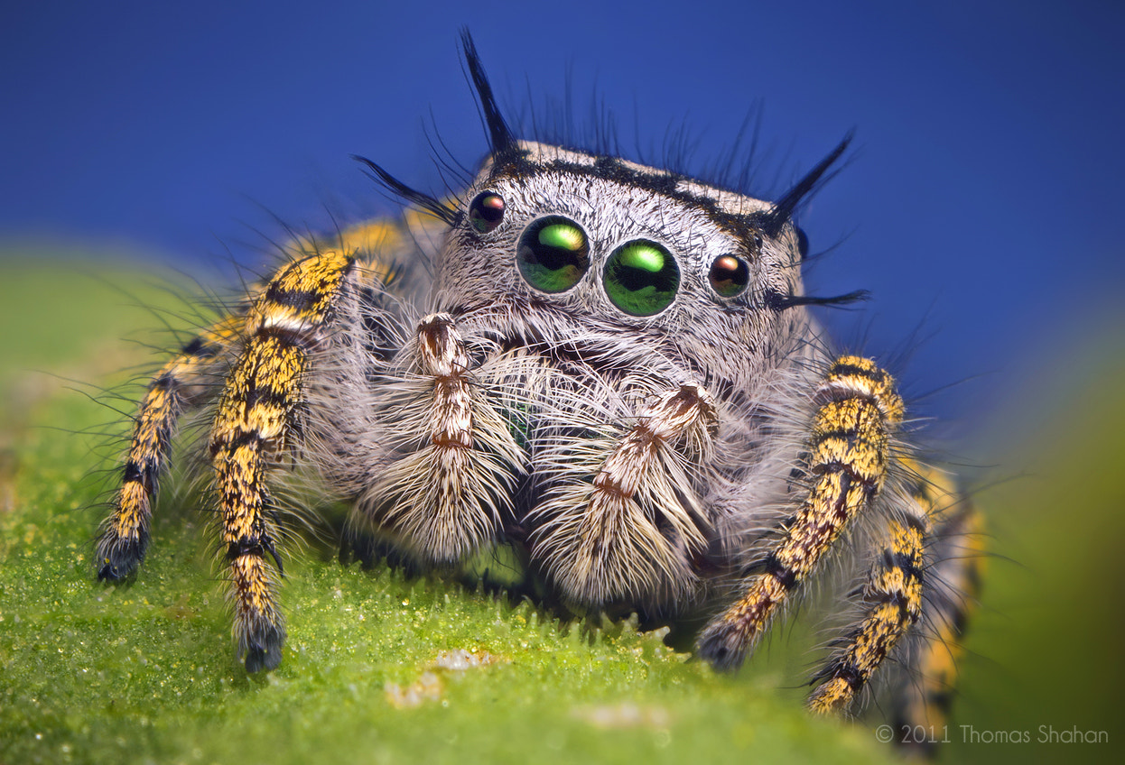 Photograph Adult Female Jumping Spider - Phidippus mystaceus by Thomas Shahan on 500px