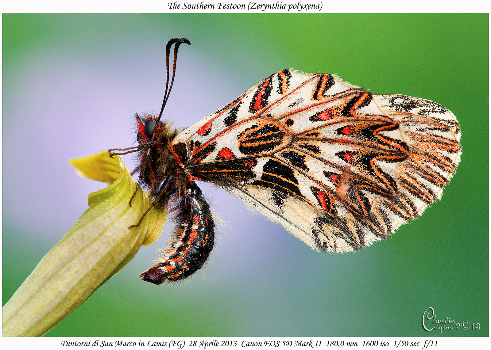 Photograph The Southern Festoon by Claudio Cugini on 500px
