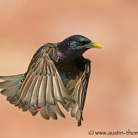 A Starling caught in flight with its wings wrapped around itself.