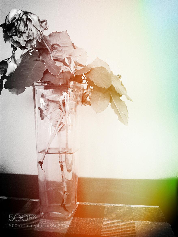 Photograph ::..Rose... by Marko  Perak on 500px