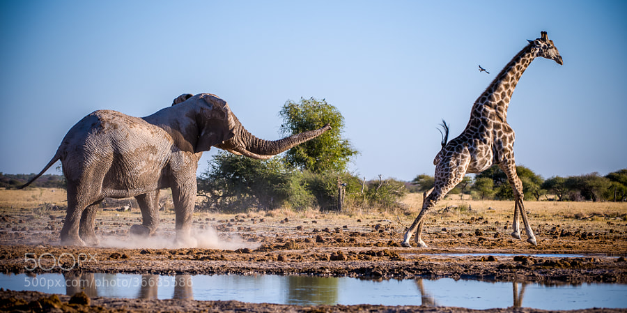 An Elephant chasing away a giraffe from Nxai Pan waterhole in the afternoon. This guy was so much fun to watch...