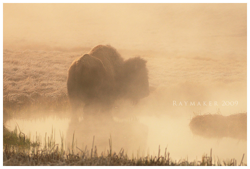 Photograph Bison in the Mist by Paul Raymaker on 500px