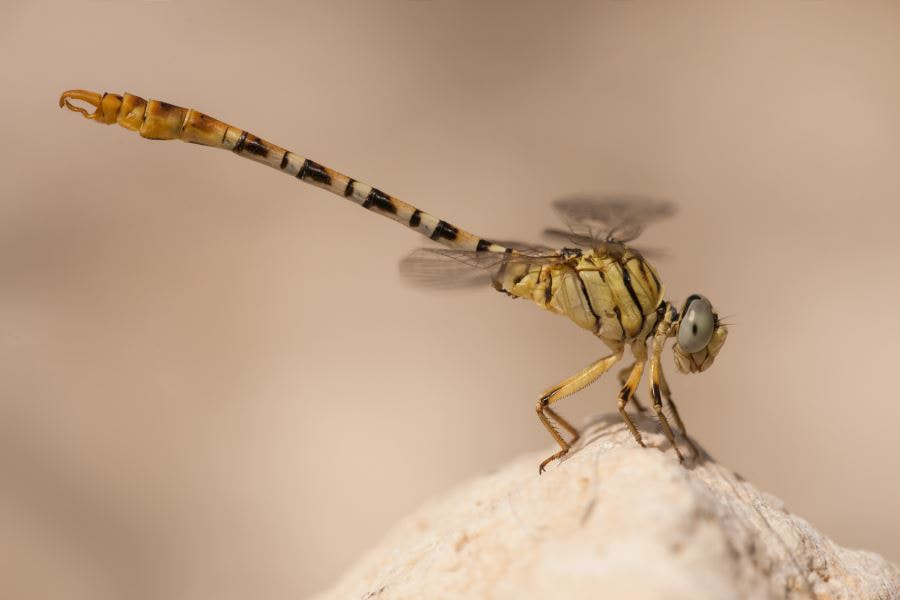 Photograph Waved pincertail by Johannes Klapwijk on 500px