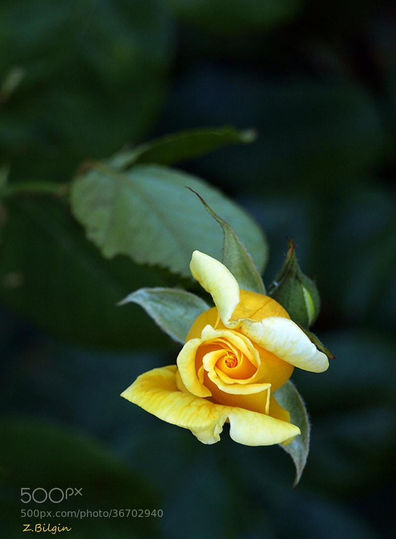 Photograph yollow rose... by Zeki Bilgin on 500px