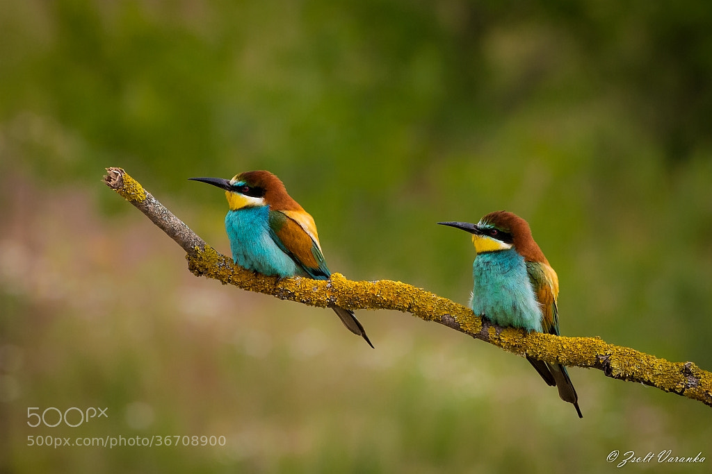 Photograph look right! (Bee eaters) by Zsolt Varanka on 500px