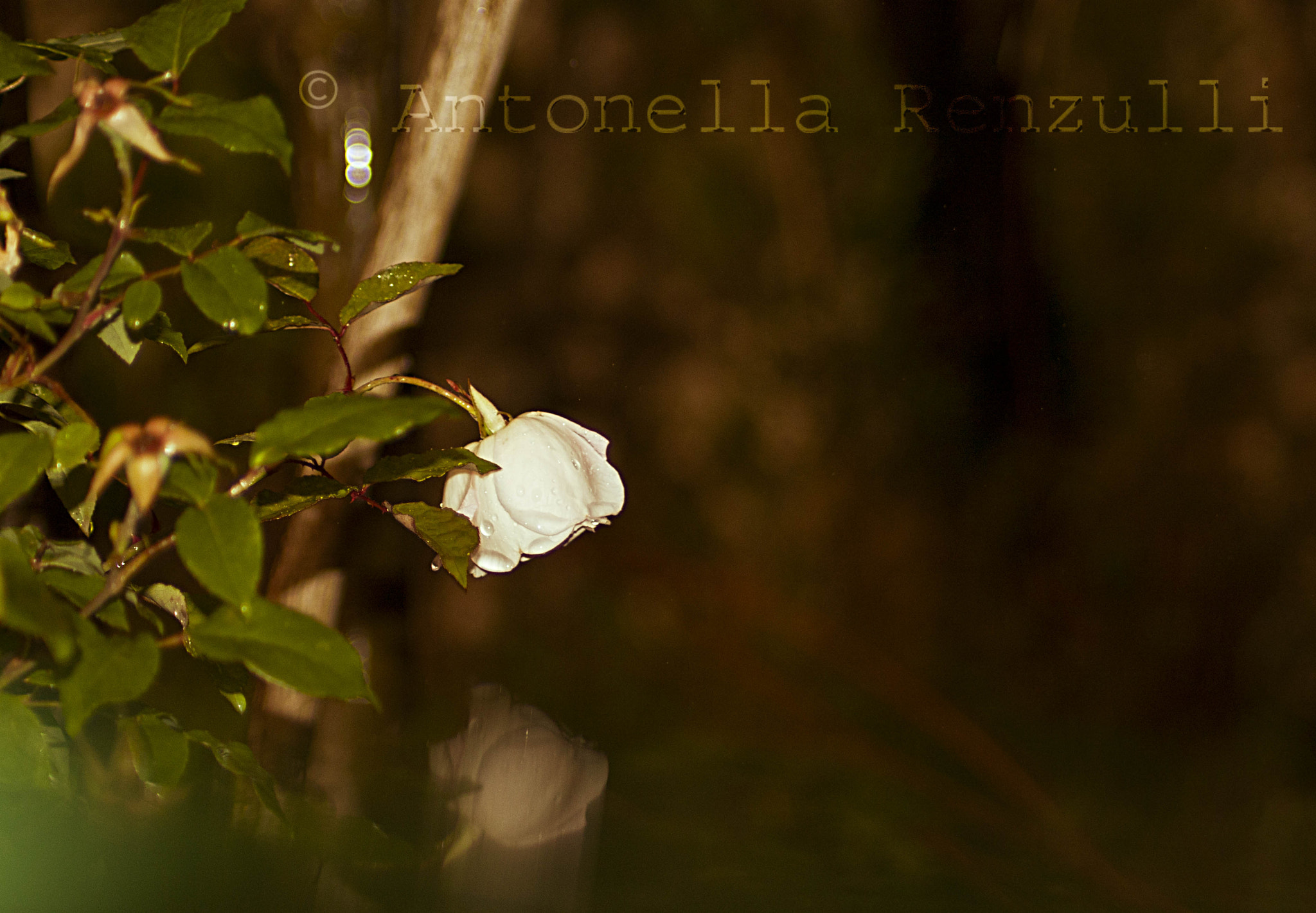 Photograph Narcissus rose by Antonella Renzulli on 500px
