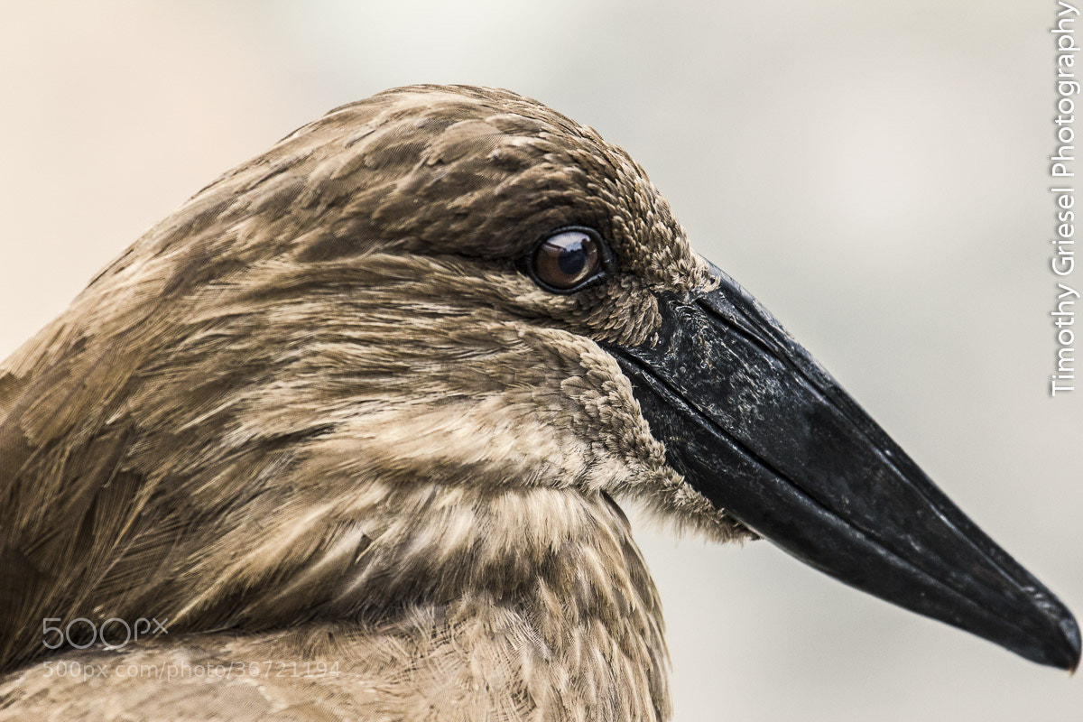 Photograph Hammerkop by Timothy Griesel on 500px