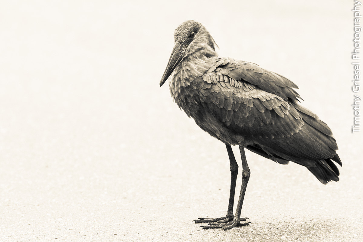 Photograph Hammerkop 2 by Timothy Griesel on 500px