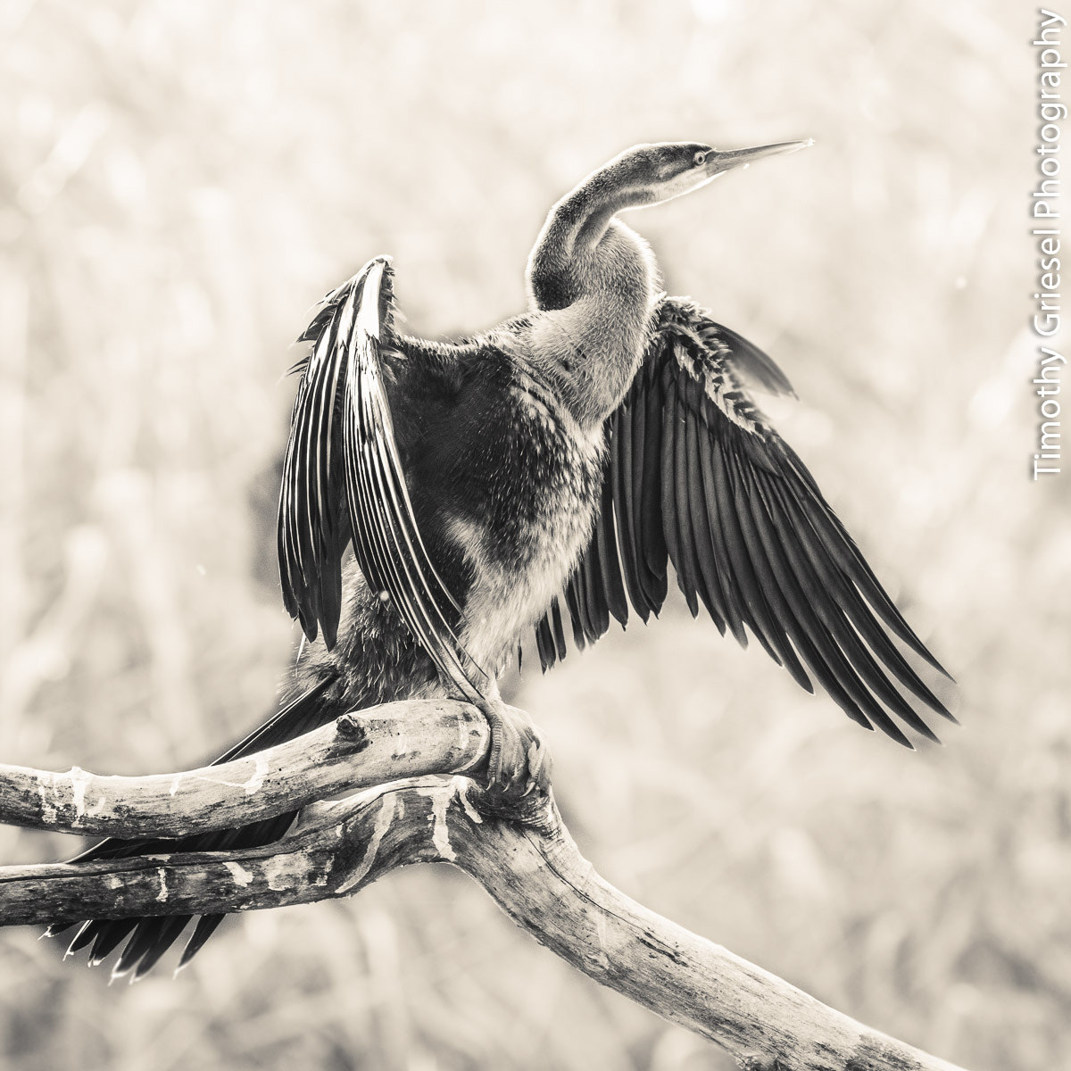Photograph Comorant by Timothy Griesel on 500px