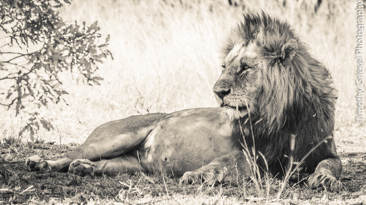 Photograph Lion Male by Timothy Griesel on 500px