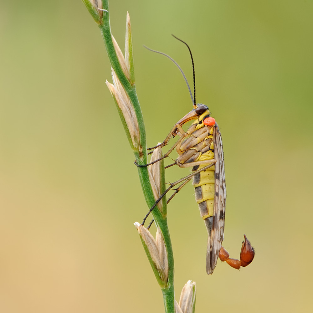 Photograph Scorpion Fly by Christian Alpert on 500px