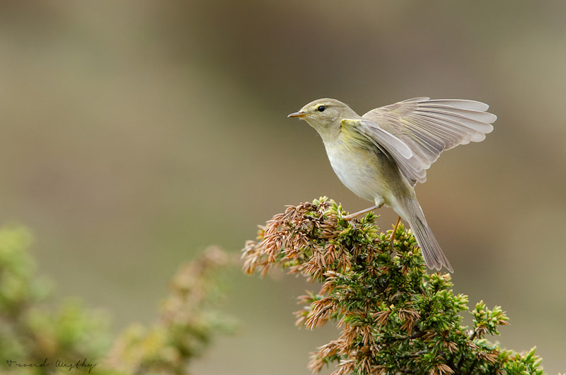 Photograph Willow warbler by Trond  Westby on 500px