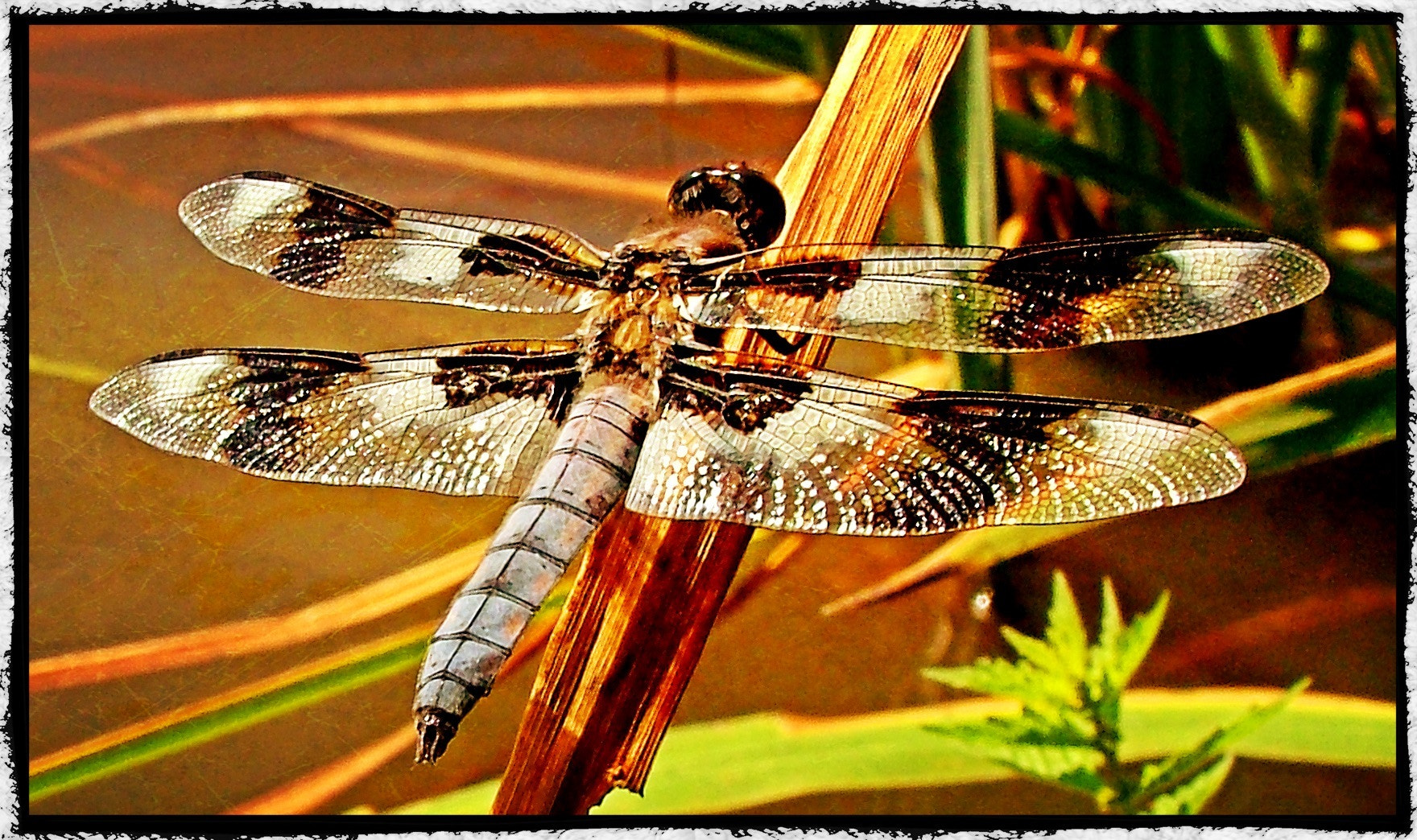 Photograph Dragonfly - Libellula Pulchella by Mark S Lane on 500px