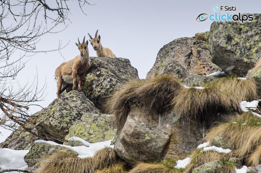 Photograph Giovani stambecchi crescono...una femmina con un giovane maschio - Capra ibex (Vallone Vallone Di Fo by Francesco Sisti on 500px
