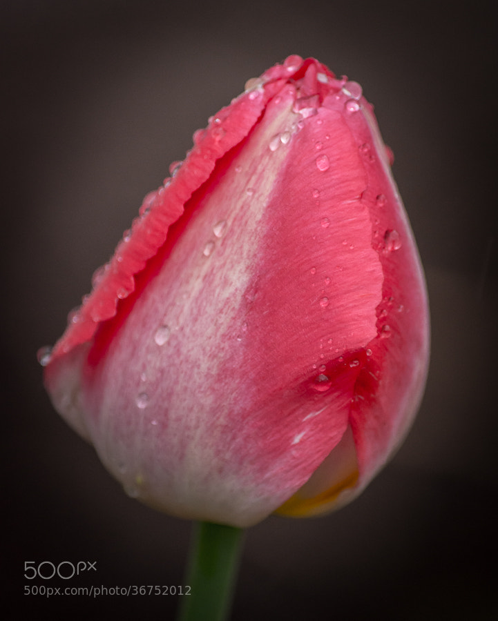 Photograph Tulip by Stevan Tontich on 500px