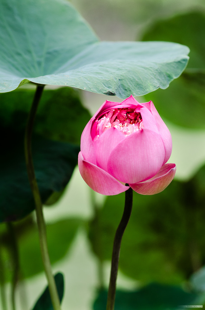 Photograph Lotus by Minh Nguyen on 500px