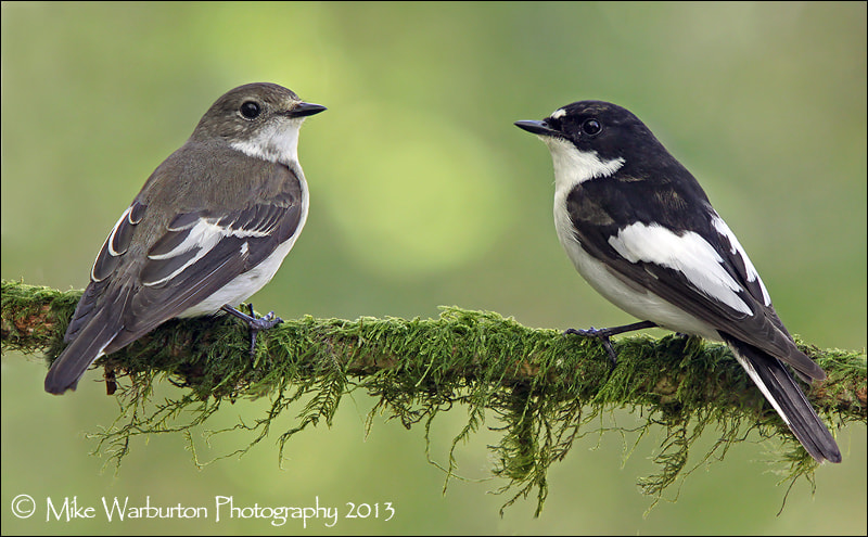 Photograph Pied Flycatchers by Mike Warburton on 500px