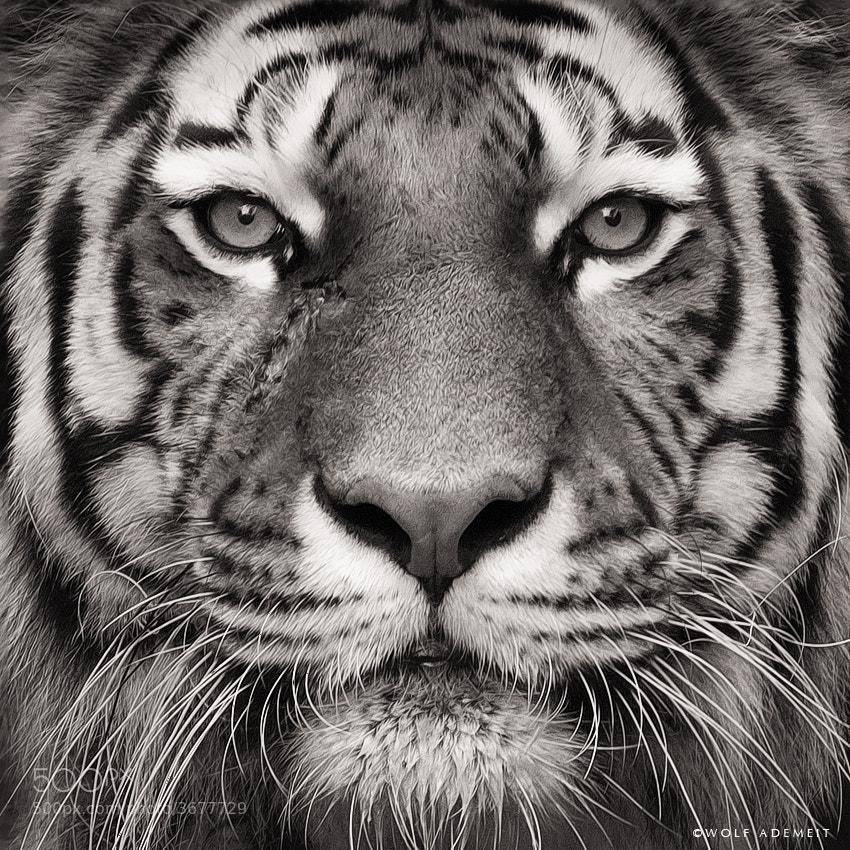 17 tiger face