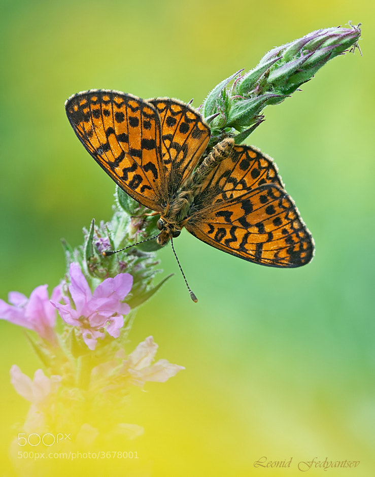 Photograph Small Pearl-Bordered Fritillary by Leonid Fedyantsev on 500px