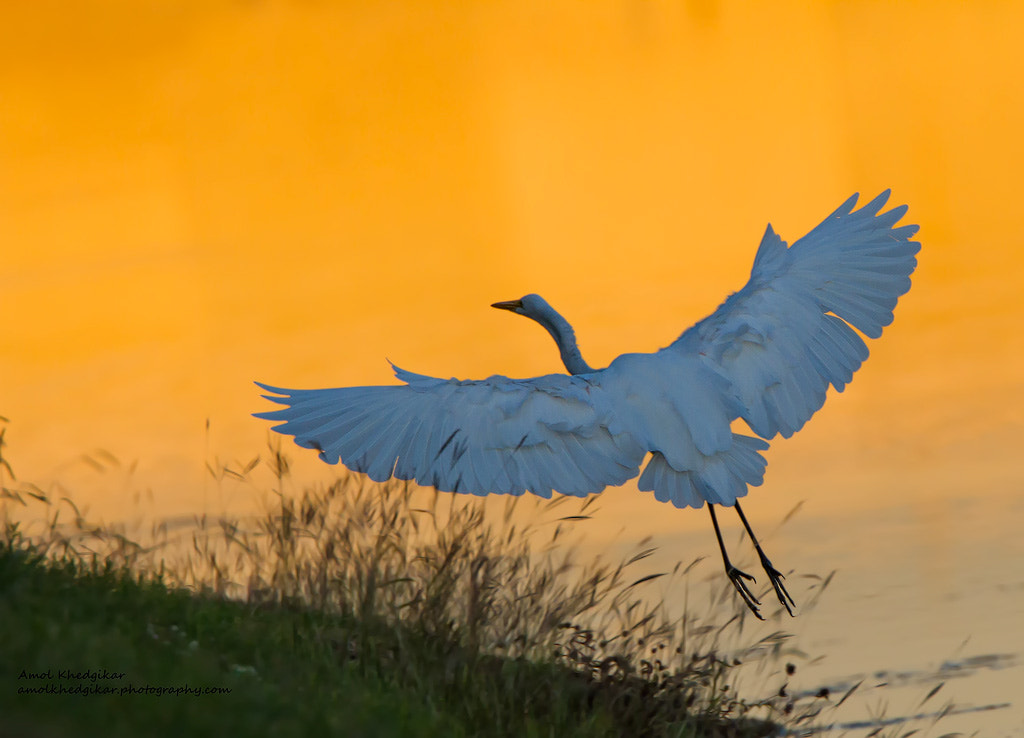 Photograph Great White Heron by Amol Khedgikar on 500px