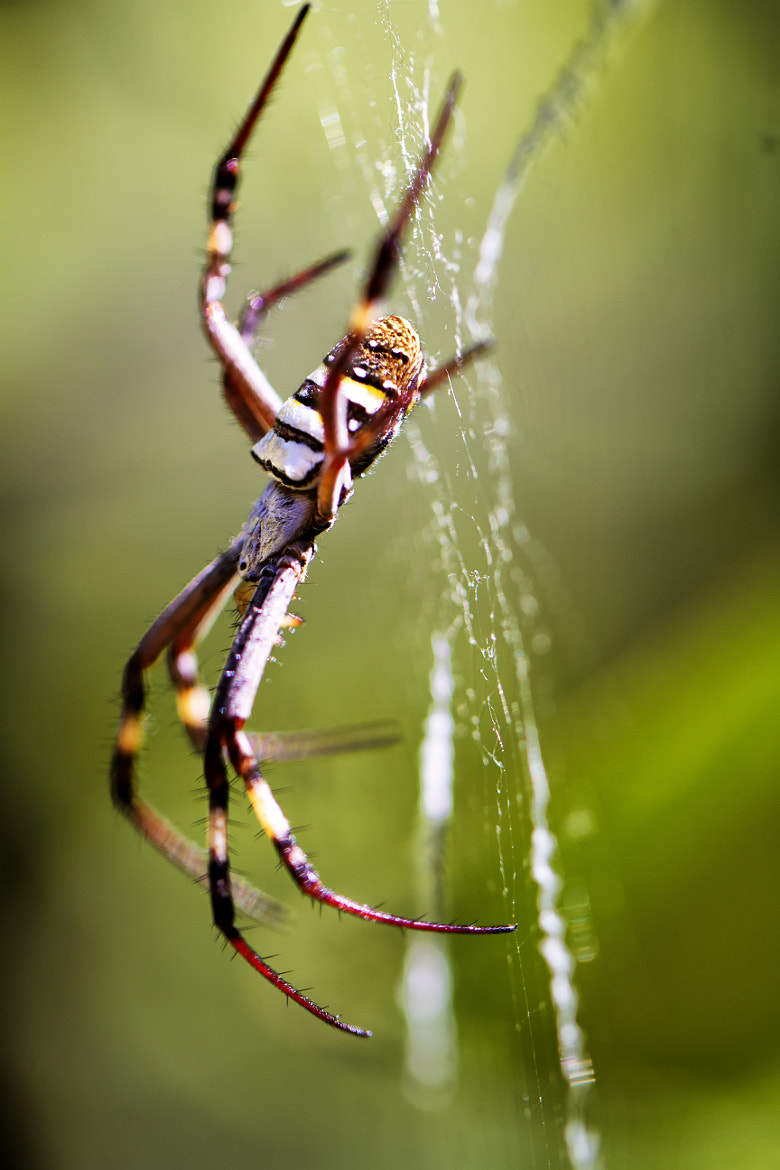 Photograph St Andrews Cross Spider by Jamie Condon on 500px