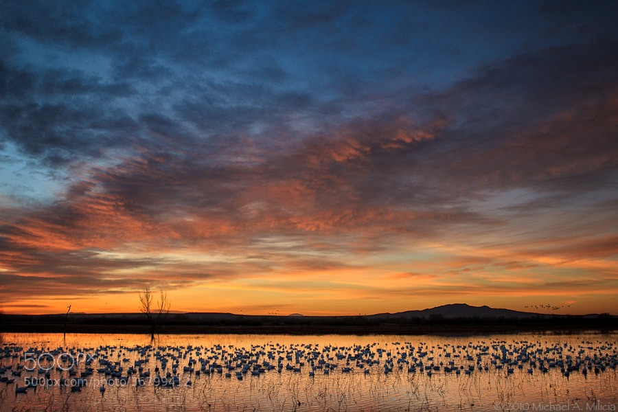 Photograph Snow Geese : Bosque del Apache NWR : San Antonio, NM by Michael Milicia on 500px