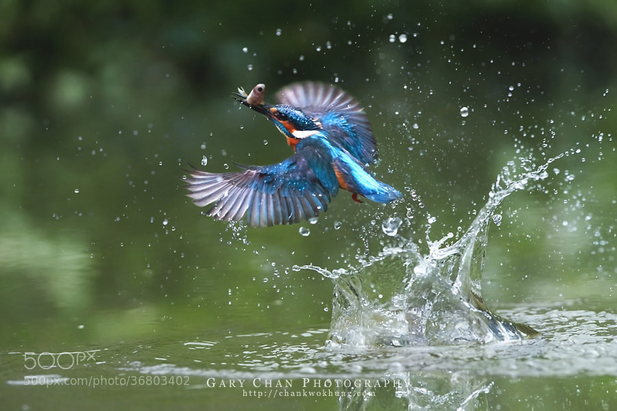 Photograph Catch Fish by Chan Kwok Hung on 500px