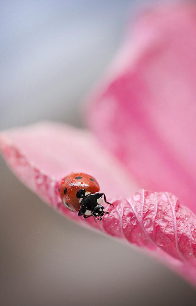 Photograph Pink Lady by Mirka Wolfova on 500px