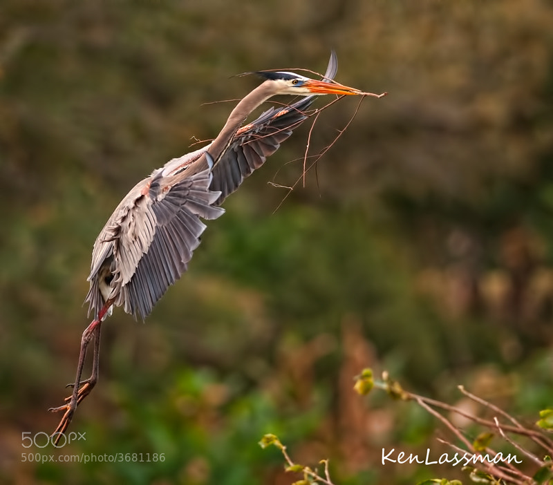 The excitement has started...the Great Blue Herons are nest building in South Florida.  They first select their mates and claim a spot for the nest.  The female sits on the spot while the male goes back and forth with nesting material.  Hope you don't get bored with multiple pictures