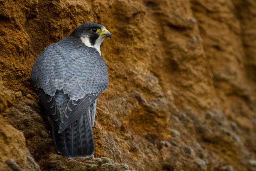 Photograph Peregrine Falcon by Pat Walker on 500px